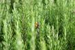 plantation de romarin, fond blanc