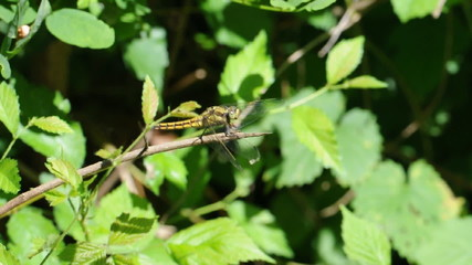 libellula gialla