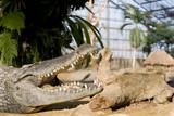 crocodile machoire ouverte