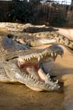 crocodile la gueule ouverte