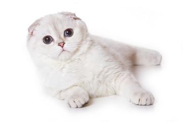 Scottish fold cat on white
