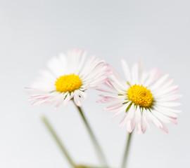 Spring flowers, white marguerites