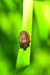 Bedbug on leaf in the morning sunlight