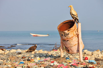 Egyptian vulture on rubbish-bin