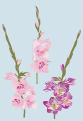 pink and purple gladiolus flowers illustration