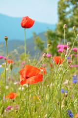 Coquelicots dans un champ de fleurs sauvages
