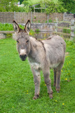 Donkey at a sanctuary. poster