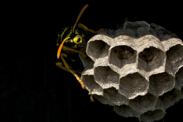 A yellowjacket wasp guarding its nest