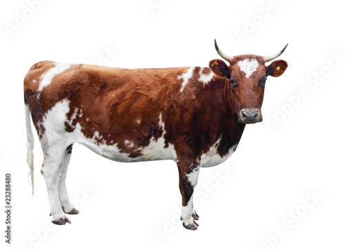 In de dag Koe Ayrshire Cow