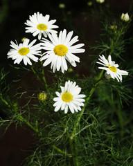 daisywheel blanching