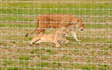 Two Lionesses in captivity poster
