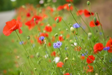 Beautiful blossoming poppies and cornflowers