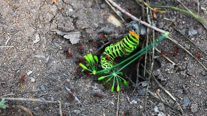 Swallowtail caterpillar trying to get out of the ants nest.