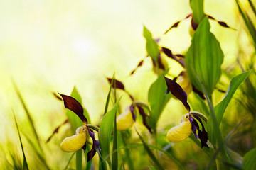lady's-slipper orchid, Cypripedium calceolus 14