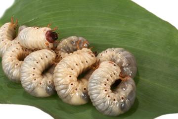 beetle larva  rhinoceros