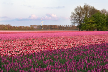 Purple field of tulips in the Netherlands