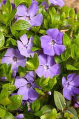 violet flowers with green leaves (Vinca major)