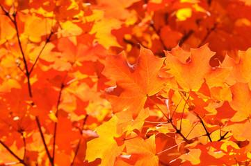 Sugar Maple Background