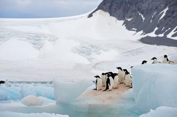 A group of Adélie Penguin (