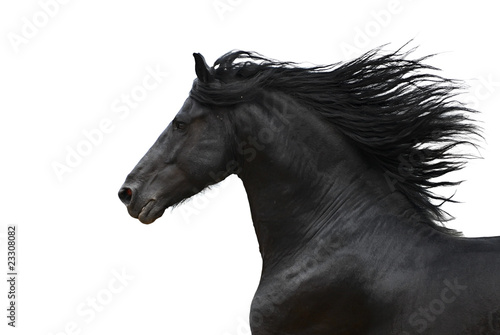 Portrait of galloping frisian horse