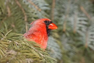 cardinal hinds in a blue spruce