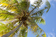 Coconut palm. French Polynesia