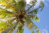 Coconut palm. French Polynesia