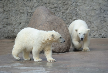 Two little white polar bears