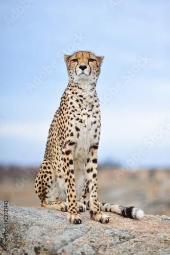 Poster Cheetah 13