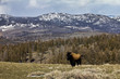 A Lone Bison in Yellowstone