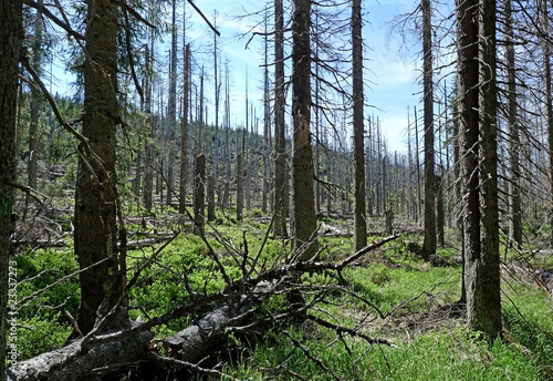 dead dry forest ecology problem (bark beetle calamity)