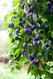 Fototapety plum tree in overgrown garden