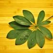 Blatt der Zimmerpflanze