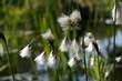 Leinwanddruck Bild - Cottongrass blossom