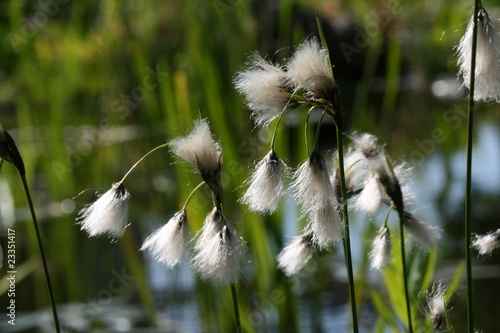 Leinwanddruck Bild Cottongrass blossom