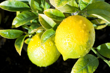 lemons on tree branch