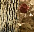 fondo madera y rosas