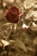 rosa y gotas de rocio