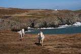 Wild welsh ponies poster