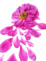 peony flower and petals