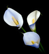 three white Calla lily on a black background