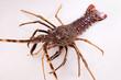 Lobster - 23384256