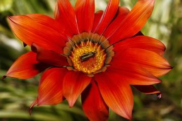 Flor ardiente