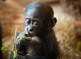Cute baby Bonobo monkey