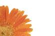 Fototapeta Pomarańczowy - żółty - Kwiat