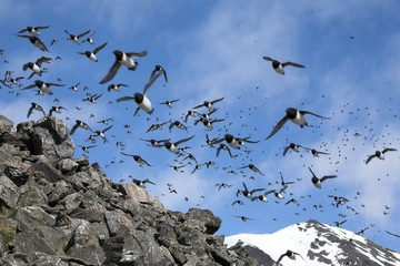 Little auks colony