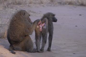 Olive baboons (Papio anubis) at Samburu NP, Kenya