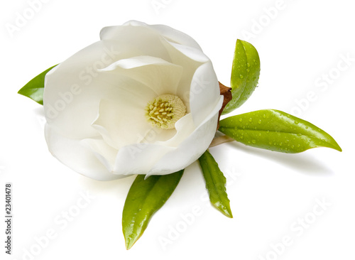 Fotobehang Magnolia Magnolia Flower