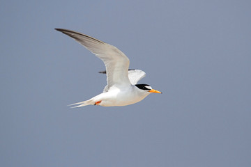 Federally Endangered Least Tern