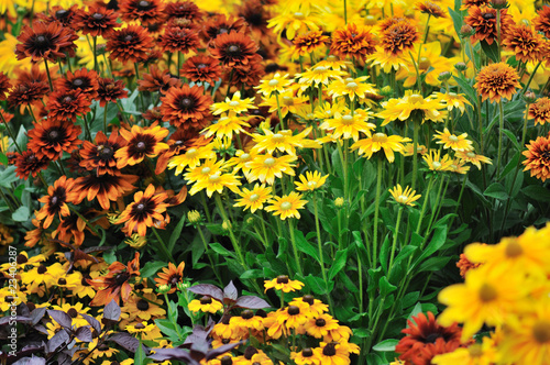 Foto op Canvas Madeliefjes fall color, rudbeckia flowers